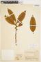 Freziera chrysophylla Bonpl., COLOMBIA, F