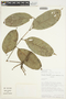 Tetragastris panamensis (Engl.) Kuntze, Ecuador, W. A. Palacios 689, F