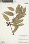 Tetragastris panamensis (Engl.) Kuntze, Brazil, G. T. Prance 4192, F