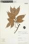 Tetragastris panamensis (Engl.) Kuntze, Peru, Rod. Vásquez 10374, F