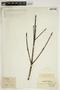 Ternstroemia verticillata Klotzsch ex Wawra, BRITISH GUIANA [Guyana], F