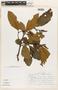 Alnus jorullensis image