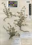 Salvia axillaris var. hidalgoana B. L. Turner, Mexico, C. G. Pringle 6905, Isotype, F