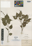 Salvia flaccidifolia Fernald, MEXICO, C. G. Pringle 10298, Isotype, F