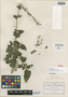 Salvia urolepis Fernald, MEXICO, C. G. Pringle 13281, Isosyntype, F