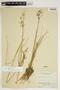 Juncus tenuis var. dichotomus image