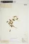 Amphilophium cynanchoides (DC.) L. G. Lohmann, PARAGUAY, F