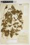 Amphilophium cynanchoides (DC.) L. G. Lohmann, ARGENTINA, I. Morel, F