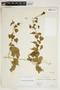 Amphilophium cynanchoides (DC.) L. G. Lohmann, ARGENTINA, H. H. Bartlett 19568, F