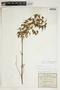 Amphilophium cynanchoides (DC.) L. G. Lohmann, ARGENTINA, G. H. E. W. Hieronymus, F