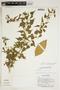 Amphilophium cynanchoides (DC.) L. G. Lohmann, ARGENTINA, J. Conrad 2548, F