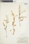 Rorippa palustris (L.) Besser, Canada, J. Macoun 85959, F