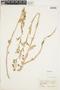 Rorippa palustris (L.) Besser, U.S.A., B. Shimek, F