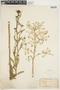 Rorippa palustris (L.) Besser, U.S.A., R. I. Cratty, F