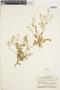 Rorippa palustris (L.) Besser, U.S.A., D. S. Correll 10068, F