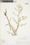 Rorippa palustris (L.) Besser, U.S.A., M. Nee, F