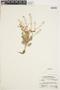 Rorippa palustris (L.) Besser, U.S.A., W. B. Kiener 14764, F