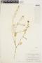 Rorippa palustris (L.) Besser, U.S.A., F. J. Walker 1005, F