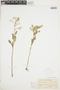 Rorippa palustris (L.) Besser, U.S.A., A. Nelson 638, F