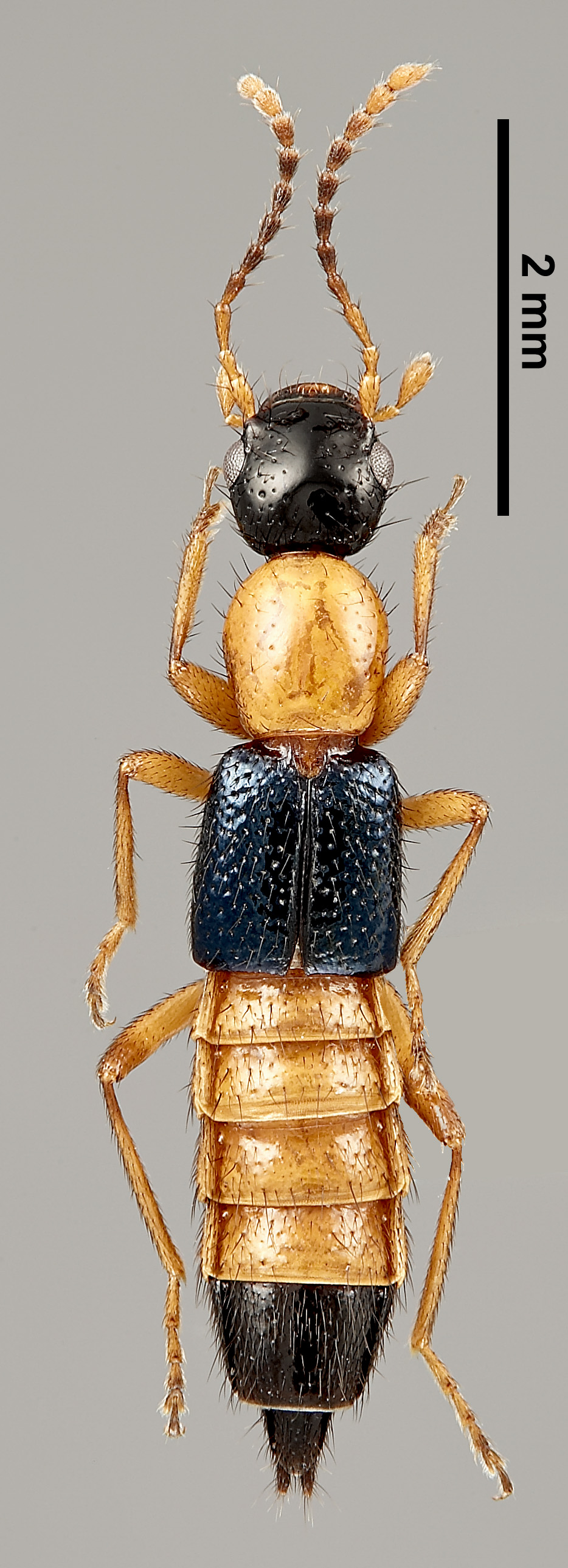 Image of Paederus littorarius