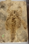 Carcinosoma newlini (Claypole), UC 12000