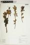 Cavendishia bracteata (Ruíz & Pav. ex J. St.-Hil.) Hoerold, Peru, I. M. Sánchez Vega 11089, F