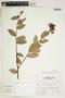 Cavendishia bracteata (Ruíz & Pav. ex J. St.-Hil.) Hoerold, Peru, A. Sagástegui A. 16325, F