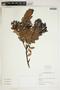 Gaultheria reticulata Kunth, Peru, I. M. Sánchez Vega 10972, F