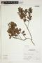 Gaultheria reticulata Kunth, Peru, A. Sagástegui A. 16231, F