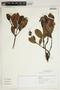 Gaiadendron punctatum (Ruíz & Pav.) G. Don, Peru, I. M. Sánchez Vega 11096, F