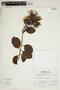 Gaiadendron punctatum (Ruíz & Pav.) G. Don, Peru, A. Sagástegui A. 16822, F