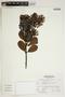 Gaiadendron punctatum (Ruíz & Pav.) G. Don, Peru, A. Sagástegui A. 16315, F