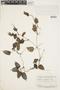 Geophila cordifolia Miq., SURINAME, F