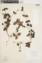 Geophila cordifolia Miq., BRAZIL, F