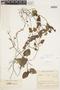 Geophila cordifolia Miq., COLOMBIA, F