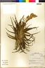 Flora of the Lomas Formations: Tillandsia latifolia Meyen, Peru, M. O. Dillon 4644, F