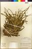 Flora of the Lomas Formations: Tillandsia geissei Phil., Chile, M. O. Dillon 5308, F