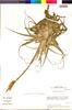 Flora of the Lomas Formations: Tillandsia geissei Phil., Chile, M. O. Dillon 5866, F