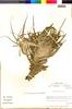 Flora of the Lomas Formations: Tillandsia geissei Phil., Chile, M. O. Dillon 5558, F