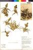 Flora of the Lomas Formations: Tillandsia latifolia Meyen, Peru, T. Anderson 8077, F