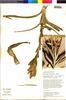 Flora of the Lomas Formations: Tillandsia latifolia Meyen, Peru, T. Anderson 8081, F