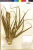 Flora of the Lomas Formations: Tillandsia latifolia Meyen, Peru, J. C. Solomon 3628, F