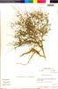 Chenopodium petiolare image