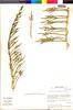 Sarcocornia fruticosa image