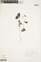 Geophila orbicularis (Müll. Arg.) Steyerm., PERU, F