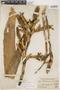 Tillandsia stenoura var. tripinnata (L. B. Sm.) L. B. Sm., PERU, F