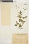 Amphilophium cynanchoides (DC.) L. G. Lohmann, URUGUAY, G. Herter 82920, F