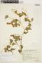 Amphilophium cynanchoides (DC.) L. G. Lohmann, ARGENTINA, S. Venturi 637478, F
