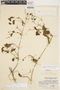 Amphilophium cynanchoides (DC.) L. G. Lohmann, ARGENTINA, J. Araque Molina, F