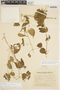 Amphilophium cynanchoides (DC.) L. G. Lohmann, ARGENTINA, 949, F